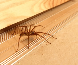 Common House Spider, Parasteatoda tepidariorum