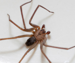 Brown Recluse, Loxosceles spp