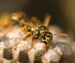 Wasp, Order hymenoptera