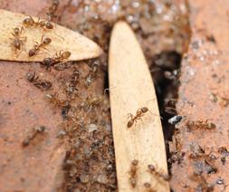 Pavement Ant, Tetramoruim caespitum