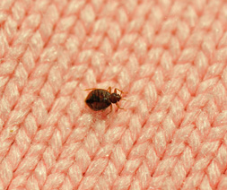 Bed Bug, Cimex lectularius