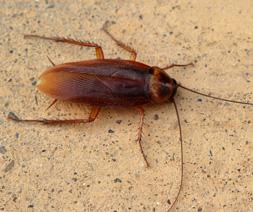 Oriental Cockroach, Blatta orientalis
