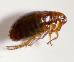 Flea, Siphonaptera